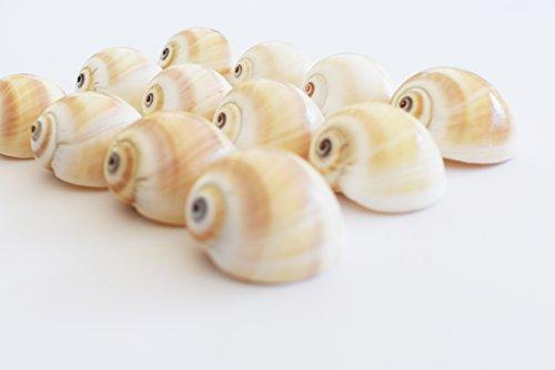 12 Beautiful Small Shark Eyes Moon Shells Seashells (1-1.5