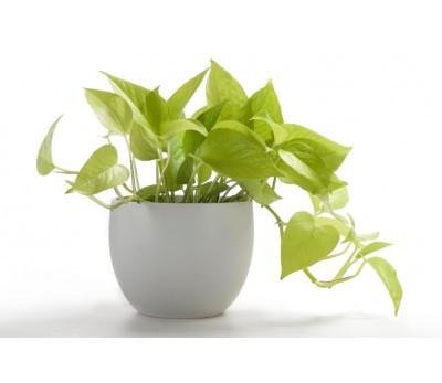 Superbe Poudha.com Money Plant Golden Indoor Green Live Table Plant