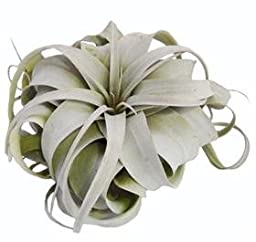 Glass Home Gardens - Large Xerographica Airplant (5-7 Inches) -the Queen of Air Plants