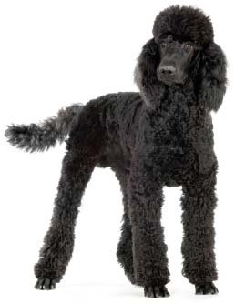 Standard Poodle ~ Dog Breed ~ Edible Cake / Cupcake Topper
