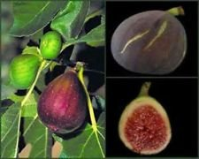 Brown Turkey FIG Seeds! Sweet! Very Hardy and Lots of FIGS!