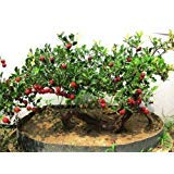 Chinese hawthorn 10 seeds Crataegus pinnatifida tree Edible Hardy CombSH M52