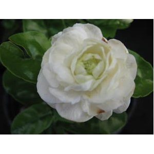 Amazon duke of tuscany arabian sambac tea jasmine live duke of tuscany arabian sambac tea jasmine live tropical plant highly fragrant double white flowers starter mightylinksfo