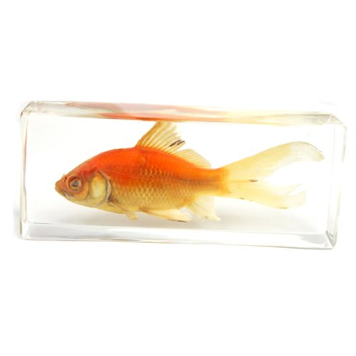 Common Goldfish Paperweight (1 5/8 x 4 3/8 x 1 1/8