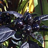*NEW *BLACK PEARL PEPPER*10 seeds*SHOWY*TROPICAL* #1048