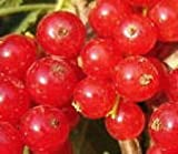 Red currant fruit shrub small tree with sweet edible berry LIVE PLANT