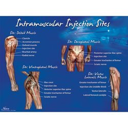 Injection Sites Intramuscular Injections - 3