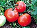 Tomato Burbank Red 250 Seeds