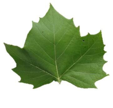American Sycamore Tree – Plananus occidentalis – Healthy Established Roots - One Trade Gallon - 1 Plant by Growers Solution ()