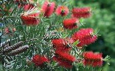 Red Bottlebrush Tree 20 Seeds - Callistemon - Tropical (Tree Bottle Brush Red)