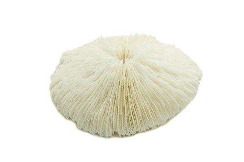 Nautical Crush Trading White Real Mushroom Coral Piece | 3''-4'' | Aquarium Ornament for Decoration | Live Mushroom Sea Coral TM| Plus Free Nautical Ebook by Joseph Rains by Nautical Crush Trading (Image #1)
