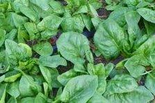 Heirloom Spinach Seed Assortment- 3 Varieties- 600+ Seeds