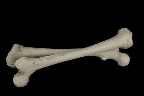 set-of-2-budget-femur-bones-a