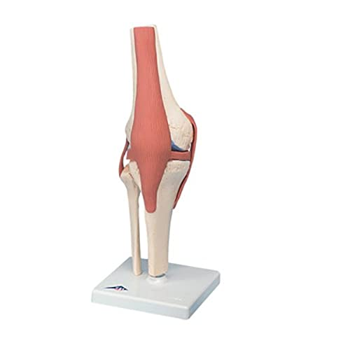 New Fabrication Enterprises Anatomical Model - functional knee joint, deluxe supplier