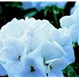 Geranium - Horizon White - 10 Seeds