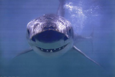- Great White Shark Poster 36 x 24in
