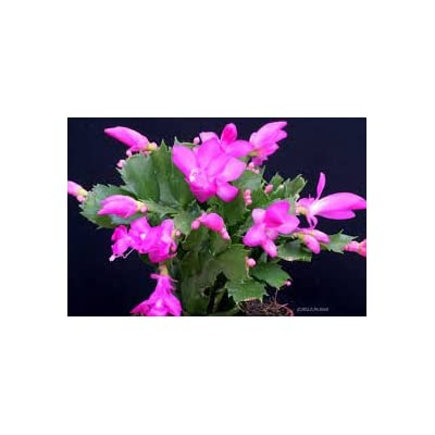 "Pink Christmas Cactus Plant - Zygocactus - 6"" Pot From Jmbamboo: Everything Else"
