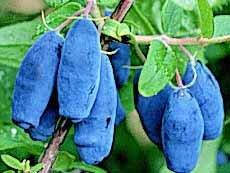 """""""Blue Velvet"""" Sweetberry Honeysuckle Honeyberry Vitamin Berries Tastes Like Blueberries Potted Plant"""