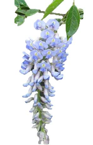 Chinese Species Blue Wisteria - Vine -Tree - Fragrant - Flowering - Bare Root - 2 Plants ()