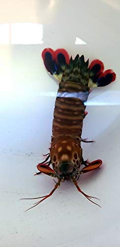 - Siam Live Aquarium Peacock Mantis Shrimp - ODONTODACTYLUS SCYALLARUS - MED 3