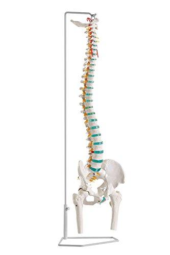 脊柱可動モデル(大腿骨付) A251 脊柱可動モデル 人体模型   B079T2R2WH