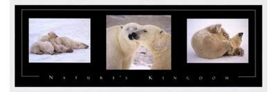 Poster Palooza Framed Nature's Kingdom-Polar Bears- 36x12 Inches - Art Print (Classic White Frame)