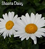 Shasta Daisy Becky Flowering Perennial Plant (1 order contains 2 potted plants)