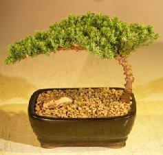 Bonsai Boy\'s Juniper Bonsai Tree-Small Juniper Procumbens nana