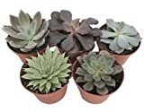 5 Different Desert Rose Succulent Plants - Echeveria - Easy to grow - 3'' Pots
