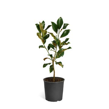 - Southern Magnolia - 1-2 ft.