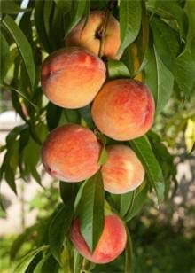 (5 Gallon Bare-Root) RED Haven Peach Trees. All Purpose Peach, Very Easy to Grow. Medium Size Fruit, Bright Red Skin, Creamy Yellow Flesh, Good Flavor, Freestone, Ripens Early. Grafted
