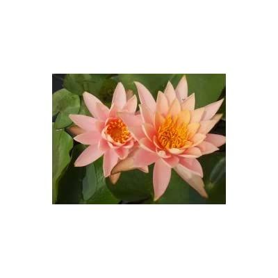 Hardy Waterlily Nymphaea 'Colorado' with Planting Container, Planting Media, and Fertilizer : Garden & Outdoor