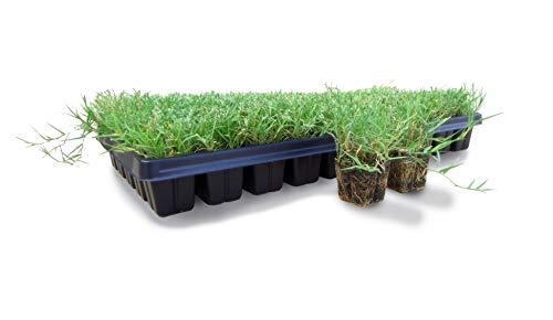 Bermuda Grass Plug Tray/EZ Plug 50 Plugs Per Tray (1)
