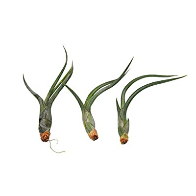 Cheap Fresh Large Air Plant Tillandsia Pseudobaileyi / 5-6 Inches Large Get 3#HPS01YN : Garden & Outdoor