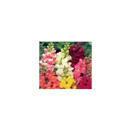 2000 BABY SNAPDRAGON Toadflax Linaria Flower Seeds