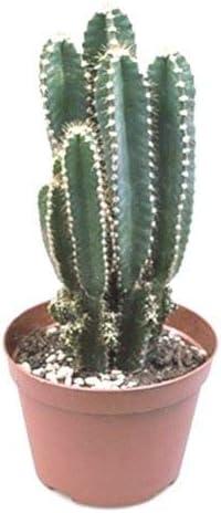 Cereus peruvianus Florida Cactus House Plant in a 8.5cm Pot x 1