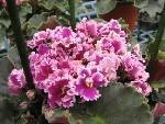 everrejoice-space-baby-african-violet-everfloris-huge-huge-plants-in-6-pots-full-bloom-makes-a-great