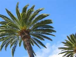 Live Foot Queen Palm Tree product image