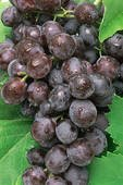 black-seedless-grapes-fresh-produce-fruit-per-pound