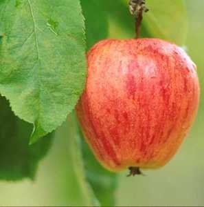 Chenango Strawberry Apple Tree 10 Seeds UPC 648620997890 Strawberry-scented fruit