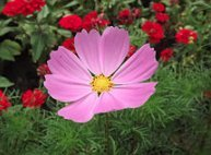 Cosmos Dwarf Pink Flower Seeds, 750+ Premium Heirloom Seeds, Daydream, Beautiful Pink Color! Bright & Perfect for your home flower garden!, 95% Germination Rates, (Isla's Garden Seeds),Highest Quality (Daydream Daisy)