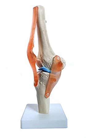 Anatomy Model of Human Knee Joint Bones Anatomical Joint Models for ...