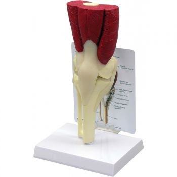 Anatomical Chart Co Muscled Knee Joint (Muscled Knee Joint)