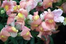 500 APPLE BLOSSOM SNAPDRAGON Antirrhinum Majus Appleblossom Pink Flower Seeds