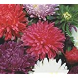 JustSeed Blume Aster Karussell, Blended gemischt 250 Samen