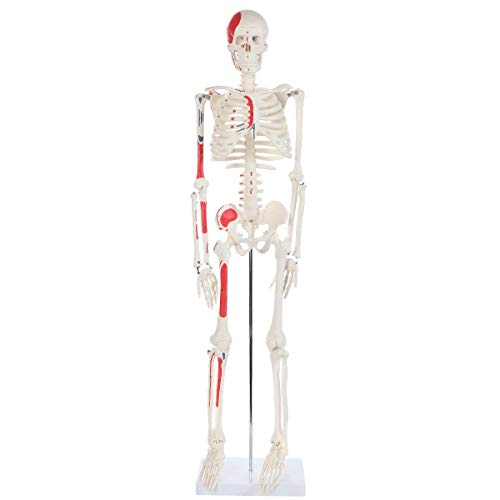 Anatomy Lab Half Life Size Painted and Numbered Human Skeleton Model | Small Plastic Skeleton Measures Almost 3 Feet Tall and Includes Muscle Insertion and Origin Points - Muscle Skeleton
