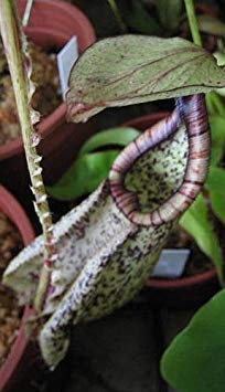 Nepenthes rafflesiana black speckle var. alata - pitcher plant - 5 seeds
