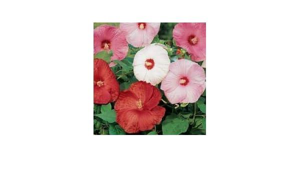 Hibiscus Disco Belle Pink Hybrid 15 Hibiscus Seeds Perennial Seeds