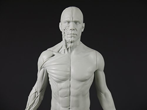 Male Adaptable Anatomy Figure: 13 4-inch Anatomical Reference for Artists  (Grey)