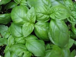 """Clovers Garden Sweet Basil Herb Plant- Non GMO- Two (2) Live Plants - Not Seeds -Each 4""""-7""""tall- in 3.5 Inch Pots"""